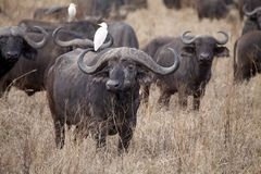 African buffalo (Syncerus caffer) Stock Photos