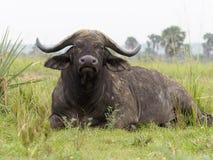 African buffalo, Syncerus caffer. Single mammal on grass, Uganda, August 2018 stock image