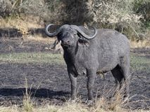 African buffalo, Syncerus caffer. Single mammal on grass, Uganda, August 2018 royalty free stock photos