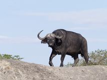 African buffalo, Syncerus caffer. Single mammal on grass, Uganda, August 2018 royalty free stock images