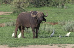 African buffalo,  Syncerus caffer, Royalty Free Stock Image