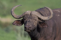 African buffalo,  Syncerus caffer, Royalty Free Stock Photo