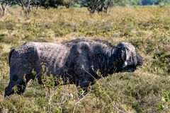 African buffalo or Syncerus caffer in savannah. African buffalo or Syncerus caffer standing in savanna stock images