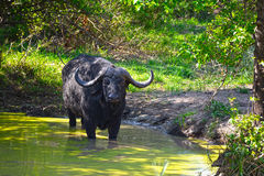 African buffalo (Syncerus caffer) in water pond. Wild African buffalo (Syncerus caffer) with single red-billed oxpecker on his head standing in water pond, water Stock Images