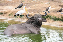 African buffalo taking a bath Royalty Free Stock Photo