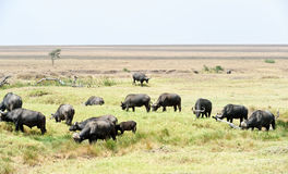 African Buffalo in Tanzania Stock Photography
