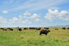The african buffalo, Tanzania, Africa Stock Photo