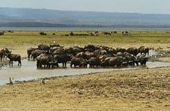 African buffalo Stock Photography
