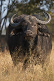 African Buffalo. Vertically in the tall grass Royalty Free Stock Photos