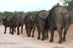 African Buffalo Walking Stock Photo
