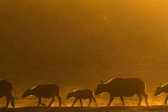 African buffalo walking in a line at sunset Stock Image