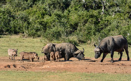 African Buffalo and Warthogs Stock Photos
