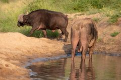 African Buffalo by the water in the late afternoon sun, photographed at Kruger National Park in South Africa. royalty free stock images