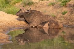 African Buffalo by the water in the late afternoon sun, photographed at Kruger National Park in South Africa. royalty free stock image
