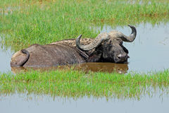 African buffalo in water Stock Photo