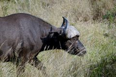 African buffalo in the wild royalty free stock photos