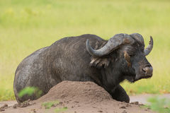 African Buffalo (Syncerus caffer) with Red-billed Oxpecker (Buph Stock Image