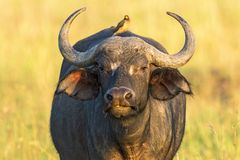 African buffalo with a yellow-billed oxpecker on the back Royalty Free Stock Photography