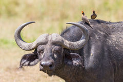 African buffalo with yellow-billed oxpecker Royalty Free Stock Photos