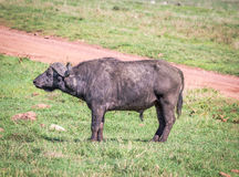 African Buffaloes Royalty Free Stock Photography