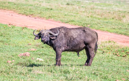 African Buffaloes Stock Photos