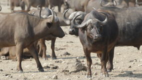 African buffaloes stock video footage