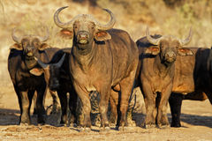 African buffaloes stock images