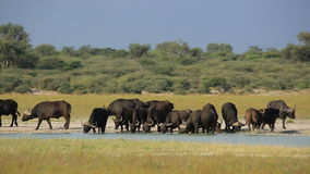 African buffaloes drinking stock video