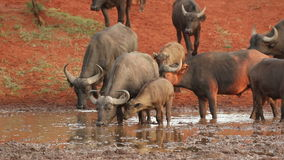 African buffaloes drinking water stock video