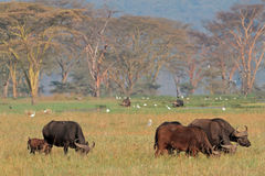 African buffaloes with egrets Royalty Free Stock Photo