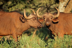 African buffaloes in natural habitat royalty free stock images