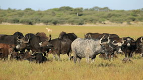African buffaloes resting Stock Photo
