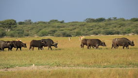 African buffaloes and springbok antelopes stock video
