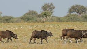 African buffaloes walking stock video footage