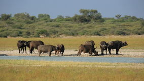 African buffaloes at waterhole Stock Photography