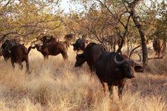 African buffalos. In south africa Stock Photos
