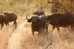 African buffalos. In south africa Stock Photo