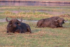 African buffalos Stock Photography