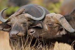 African buffalos stock photography