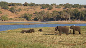 African buffalos and elephants at river in Chobe National Park. Big African elephants and small buffalos grazing at river in Chobe National Park in Botswana Stock Images