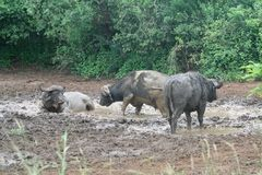 African buffalos in mud bath Royalty Free Stock Photos