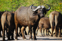African Buffalos (Syncerus caffer). The African Buffalo (Syncerus caffer) is a large African mammal and up to 1.8 meters high, 3.5 meters long. They weigh about stock photos