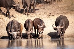 African Buffalos (Syncerus caffer). The African buffalo (Syncerus caffer) is one of the most successful grazers in Africa. It lives in swamps, floodplains as Stock Image