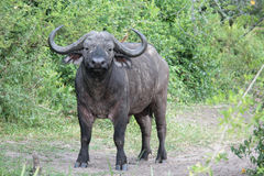 African buffalos watching us Stock Photos