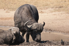 African buffalos  Royalty Free Stock Images