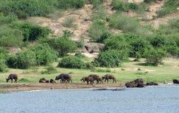African Buffalos waterside in Uganda Stock Photos