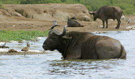 African Buffalos waterside in Uganda Royalty Free Stock Images