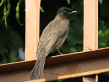 African Bulbul. Royalty Free Stock Images