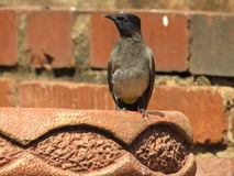 African Bulbul. Royalty Free Stock Photography