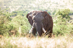 African bull elephant Stock Photo